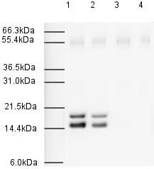 Western blot - Anti-Sumo 2+3 antibody (ab3742)