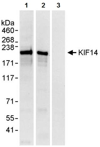 Immunoprecipitation - Anti-KIF14 antibody (ab3747)