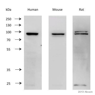 Western blot - Anti-KMT6 / EZH2 antibody (ab3748)
