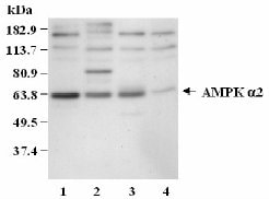 Western blot - AMPK alpha 2 antibody (ab3760)