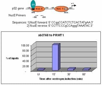 ChIP - Anti-PRMT1 antibody - ChIP Grade (ab3768)