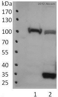 Western blot - Anti-Topoisomerase I antibody (ab3825)