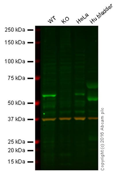 Western blot - Anti-Cdc25C antibody [TC-14] (ab30313)