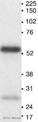 Western blot - Anti-MEF2A (phospho T312) antibody (ab30644)