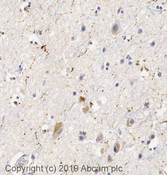 Immunohistochemistry (Formalin/PFA-fixed paraffin-embedded sections) - Anti-Neuropeptide Y antibody (ab30914)