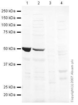 Western blot - Anti-LMX1A antibody (ab31006)