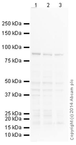 Western blot - Anti-Calnexin antibody [AF18] - ER Membrane Marker (ab31290)