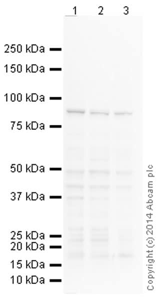 Western blot - Anti-Calnexin antibody [AF18] (ab31290)