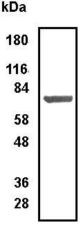 Western blot - Anti-Arginyl tRNA synthetase antibody (ab31537)