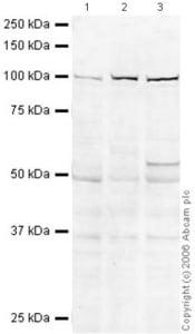 Western blot - Anti-CDC5L antibody (ab31779)