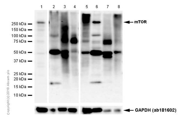 Western blot - Anti-mTOR antibody [Y391] (ab32028)