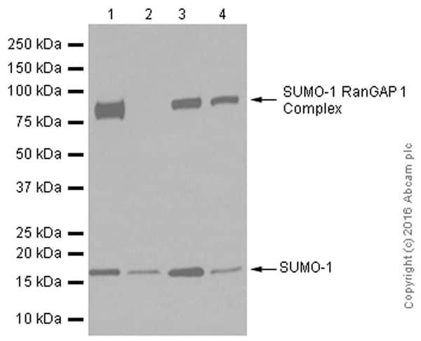 免疫印迹-抗Sumo 1抗体[Y299]-芯片级(ab32058)