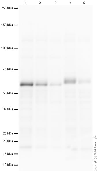 Western印迹-抗c-myc抗体[Y69](AB772)