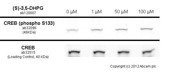 免疫印迹-抗CREB(磷酸S133)抗体[E113](ab32096)