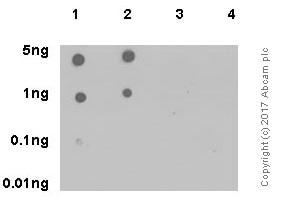 Dot Blot - Anti-JAK2 (phospho Y1007 + Y1008) antibody [E132] (ab32101)