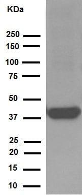 免疫印迹-抗突触素抗体[YE269](ab32127)