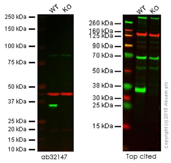 免疫印迹-抗Cdk2抗体[E304](ab32147)