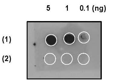 斑点杂交-抗EIF2S1(磷酸化S51)抗体[E90](ab32157)