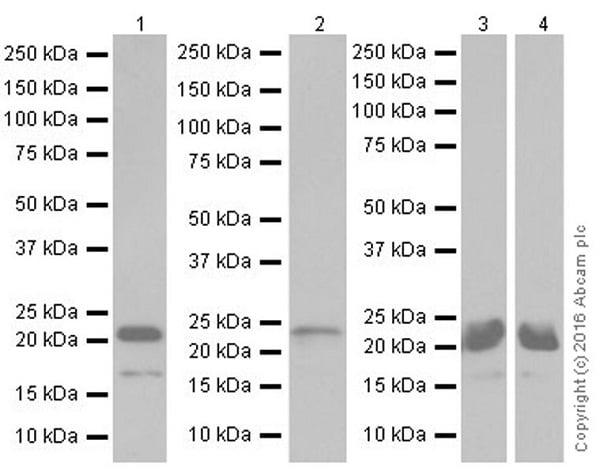 免疫印迹-抗Bim抗体[Y36](ab32158)