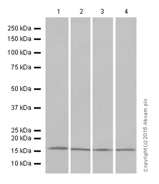 免疫印迹-抗组蛋白H3(双甲基K4)抗体[Y47]-芯片级(ab32356)