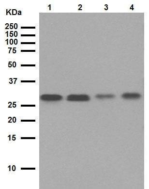 Western blot - Anti-Bcl-XL antibody [E18] (ab32370)