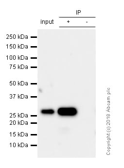 Immunoprecipitation - Anti-Bcl-XL antibody [E18] (ab32370)
