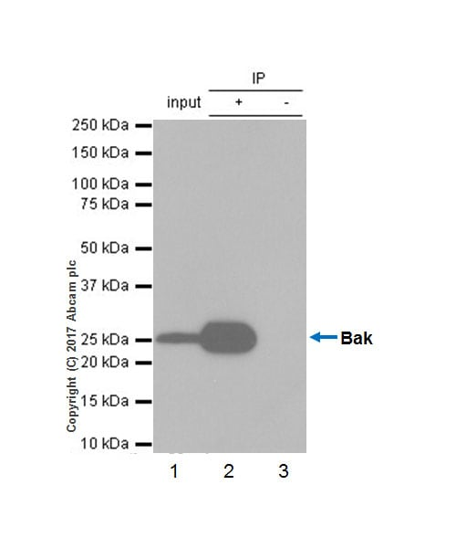 Immunoprecipitation - Anti-Bak antibody [Y164] (ab32371)
