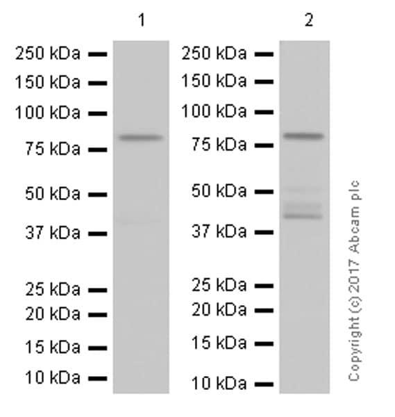 Western印迹-抗PKCα抗体[Y124](AB32476)