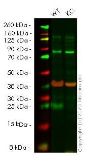 Western blot - Anti-Bad antibody [Y208] (ab32445)