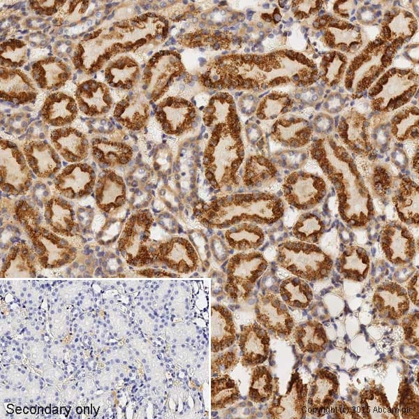 Immunohistochemistry (Formalin/PFA-fixed paraffin-embedded sections) - Anti-Bax antibody [E63] (ab32503)