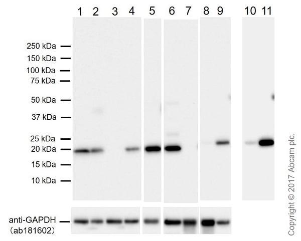 免疫印迹-抗Bax抗体[E63](ab32503)