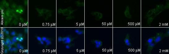 Immunocytochemistry/ Immunofluorescence - Anti-AKT3 + AKT2 + AKT1 antibody [Y89] (ab32505)