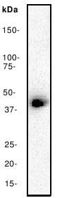 Western blot - Anti-CREB antibody [E306] (ab32515)
