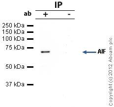 Immunoprecipitation - Anti-AIF antibody [E20] - Mitochondrial Marker (ab32516)