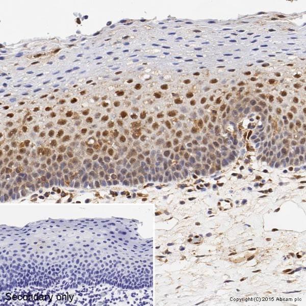 免疫组织化学(福尔马林/PFA固定石蜡切片)-抗ERK1抗体[Y72](ab32537)