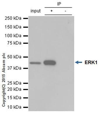 免疫沉淀-抗ERK1抗体[Y72](ab32537)