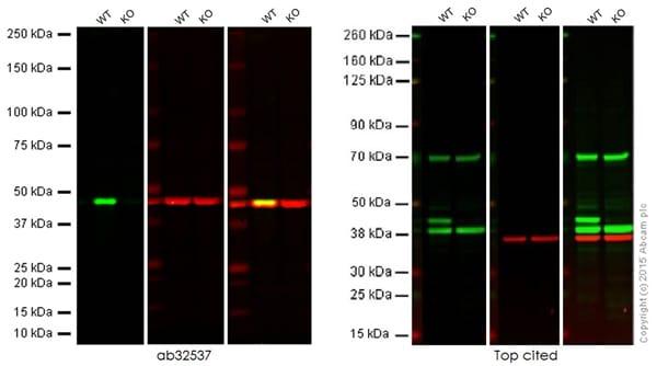 免疫印迹-抗ERK1抗体[Y72](ab32537)