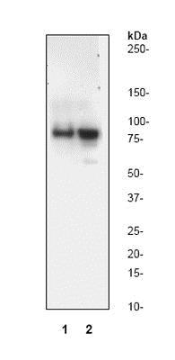 免疫印迹-抗切割PARP1抗体[Y34](ab32561)