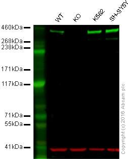 Western blot - Anti-DNA PKcs antibody [Y393] (ab32566)