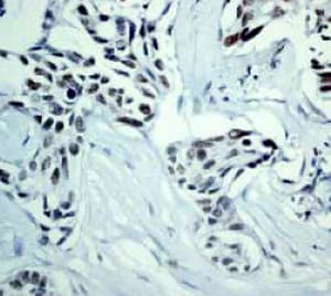 Immunohistochemistry (Formalin/PFA-fixed paraffin-embedded sections) - Anti-DNA PKcs antibody [Y393] (ab32566)