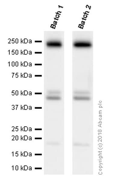 Western blot - Anti-PDGFR alpha + PDGFR beta antibody [Y92] - C-terminal (ab32570)