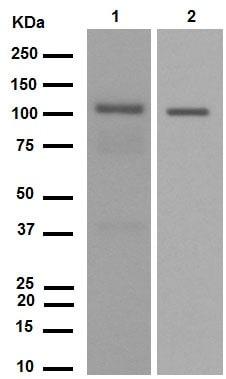 Western blot - Anti-PYK2 antibody [YE353] (ab32571)