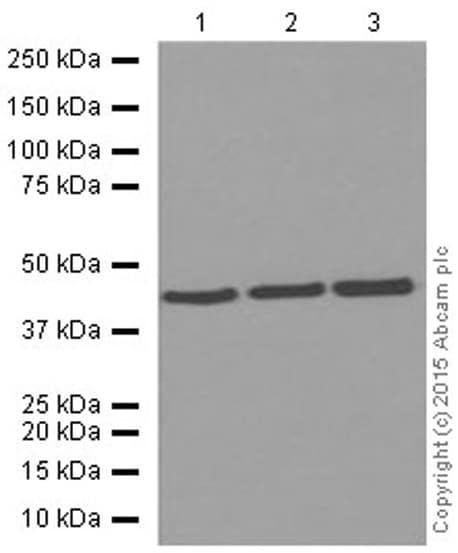 Western blot - Anti-alpha smooth muscle Actin antibody [E184] (ab32575)
