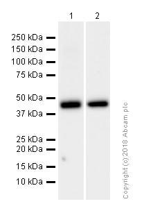 Western blot - Anti-MEK1 antibody [Y77] (ab32576)