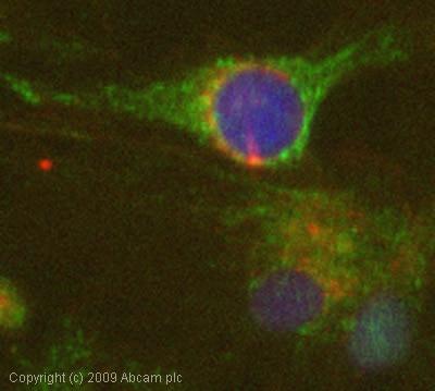 Immunocytochemistry/ Immunofluorescence - Anti-eIF2B epsilon antibody (ab32713)