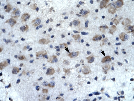 Immunohistochemistry (Formalin/PFA-fixed paraffin-embedded sections) - Anti-KCNH5 antibody (ab32975)