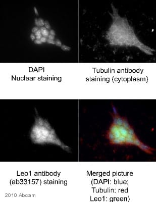Immunocytochemistry/ Immunofluorescence - Anti-LEO1 antibody (ab33157)