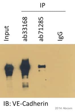 Immunoprecipitation - Anti-VE Cadherin antibody - Intercellular Junction Marker (ab33168)