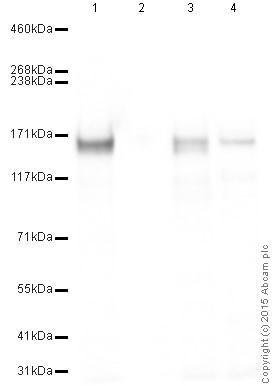 Western blot - Anti-AP180 antibody (ab33898)