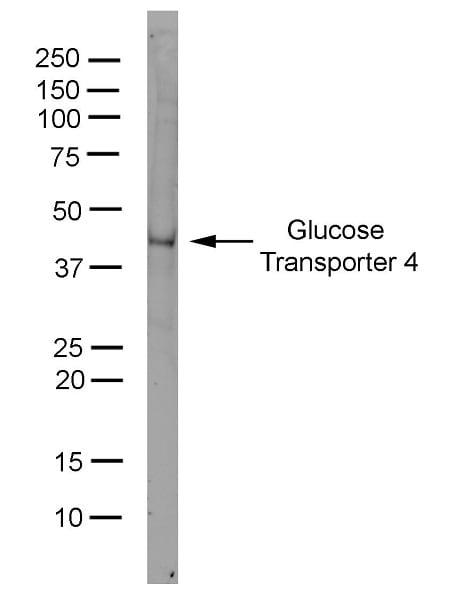 Western blot - Anti-Glucose Transporter GLUT4 antibody [1F8] (ab35826)